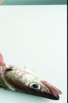 Lever les filets d'un poisson rond